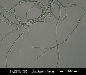 Oscillatoria tenuis