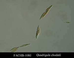 Quadrigula chodatii