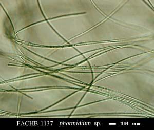 Phormidium sp.