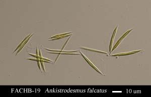 Ankistrodesmus falcatus