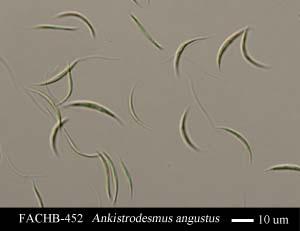 Ankistrodesmus angustus
