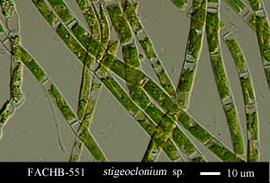 Stigeoclonium  sp.