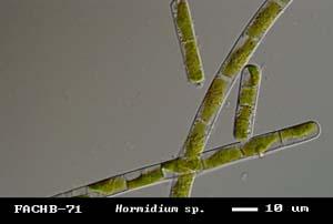 Hormidium sp.