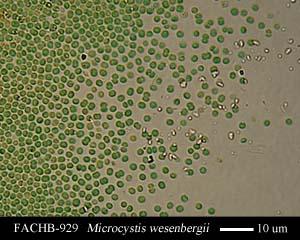 Microcystis wesenbergii